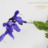 ブルーサルビア Salvia farinacea
