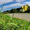 秋空晴れて・・・ - モンキチョウの黄色い ♀ -
