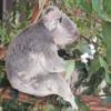 オーストラリア留学記 #13 ローンパイン・コアラ・サンクチュアリ コアラとカンガルーと戯れる