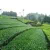 黄緑色から濃い緑色の茶畑に…