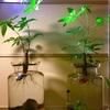 熱帯魚水槽でパキラを水耕栽培💕