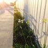 育てるのが簡単な美しい花 アガパンサス(Agapanthus)