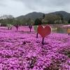 富士芝桜まつり GW後半以降が最高の見頃 一面ピンク 駐車場あり 入園料は安い