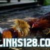 Metode Pengobatan Penyakit Kurap Pada Laga Ayam Bangkok
