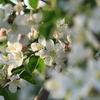 摘花から摘果へ