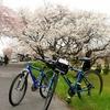 ふらっと桜。