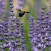 ラベンダーの花とクマバチとモンシロチョウ