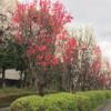 照手桃、咲いています!(2021年3月28日)