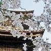 春の京都で妄想は花盛り、運命はつぼみ固し