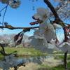 RICOH GR CX4|桜を撮ってきました