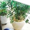 シマトネリコの水やりのタイミング。鉢植えでも大きく成長中。