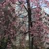 大横川親水公園の枝垂れ桜の開花 2017年