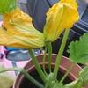 [家庭菜園]ズッキーニ双子の花!ビーツ収穫!ラベンダー、、どうしよう。。