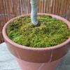 モミジの鉢の苔・九月上旬