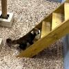 【豊橋】のんほいパーク、ついにレッサーパンダ来たってよ。