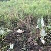 緑肥のセスバニア、採種の準備