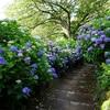 紫陽花の絶景迷路に迷い込め。360°紫陽花の世界、下田公園へ