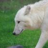 【車・趣味】まだ見ぬオオカミを目指して ~本命・ホッキョクオオカミ・下章~