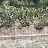 イノシシ対策の柵完成&マリーゴールドとキバナコスモス