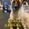 犬も花粉症? 保護犬ホシ くしゃみ連発でやってらんねー。らしい。