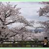 桜三昧 一の坂編