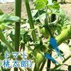 【2018.6.3】ナスの支柱追加とカボチャの手動受粉作業!新野菜追加などなど