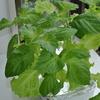 スポンジ水耕栽培で始めた大葉とサニーレタス(7週間目)