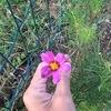 自粛前より多忙? その間に我が子コスモス達に花が咲いた!