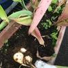 原坊の朝顔の種と赤ちゃんを抱いて家族3人でのご来店の話