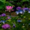 京都・花園 - 蓮咲き始める梅雨空の法金剛院