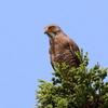 のんびり休む里の鷹サシバ