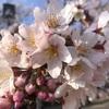 花見にGO! 桜でアトピー治る?