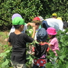こすもす保育園 枝豆を収穫しました