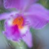 妖艶なカトレヤの花