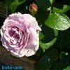 春のバラ【秦野カルチャーパーク】