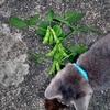 枝豆栽培記 結実 収穫