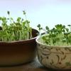 スプラウト栽培が、専用の種でないとダメな理由