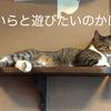 【きゃりこ】たくさんのネコたちをなでなで出来ちゃう!【猫カフェ】