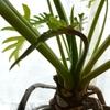 冬越し後の観葉植物2