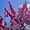 3月6日 低山ハイクで山コーヒー!南高梅の咲く中山連山