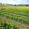 足柄紫水大橋のたもと(大井町側)、ひょうたん池近くの菜の花がきれいです。