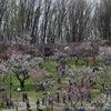 【お出かけ写真】札幌、平岡公園で梅見物をしてきました