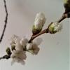 花芽(はなめ・かが)とつぼみ