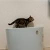 まだ気が早いですが成猫用のトイレを買いました