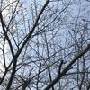 桜と梅の開花状況2017  我が家の樹木定点観察〈京都府南部〉 Blooming status of cherry & ume blossoms at my house garden, Southern part of Kyoto prefecture  Date: Mar. 19, 2017