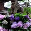 23.東京 白山神社 紫陽花