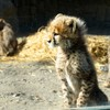 チーター赤ちゃん&サーバル赤ちゃん@多摩動物公園