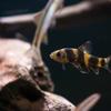 カラヒガイ Sarcocheilichthys sinensis