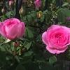 ガートルード ジェキルのピンクが眩しい!