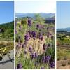 サイクリングでラベンダー畑を愛でる│ラベンダーファームあまおか・円興寺峠